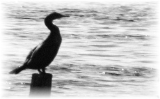 Drakes Island:  harbor-side piling serves as resting place for cormorans